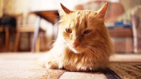 布朗猫,红色平纹公猫,姜猫 股票视频