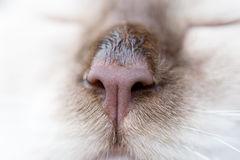 布朗猫鼻子 库存图片
