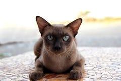 布朗猫 免版税图库摄影