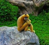 布朗猴子等待的食物 免版税库存照片