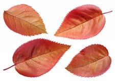 布朗玫瑰色叶子集合 免版税库存照片