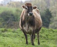 布朗瑞士人母牛 免版税库存图片