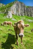 布朗瑞士母牛在阿尔卑斯 免版税库存照片