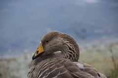 布朗用羽毛装饰鸭子 免版税库存照片