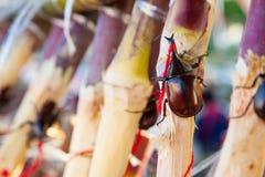 布朗甲虫 免版税库存照片