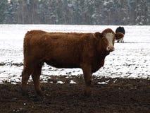 布朗白的母牛 库存照片