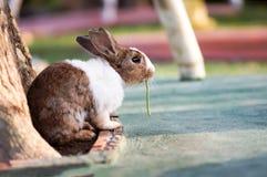 布朗白色兔子吃yardlong豆 图库摄影