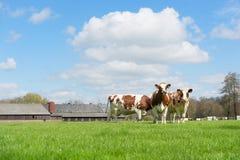 布朗白色母牛 库存图片