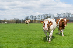 布朗白色母牛 免版税库存照片
