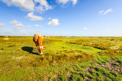 布朗白色被察觉的母牛在乡区 库存图片