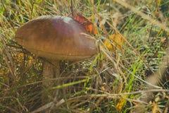 布朗盖帽掩藏在草的牛肝菌蕈类蘑菇 库存照片