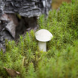 布朗盖帽牛肝菌蕈类(Leccinum scabrum蘑菇)在绿色青苔 免版税库存图片