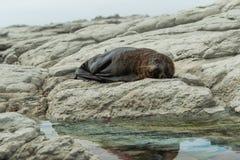 布朗睡觉在海滩的海狗 免版税库存照片