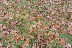 布朗秋天上色了橡树在草草坪的叶子背景 库存照片
