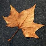布朗秋天在黑暗的大理石的枫叶 免版税库存图片