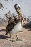 布朗秘鲁鹈鹕在Paracas,秘鲁 免版税库存图片