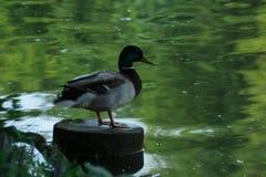 布朗米黄鸭子坐日志在农村池塘附近用绿色水,鸭子反射了水的表面上 库存照片