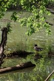 布朗米黄鸭子坐日志在农村池塘附近用绿色水 免版税库存图片