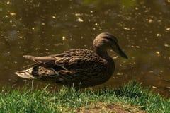 布朗米黄鸭子坐绿色春天草在河边 ?? 库存照片