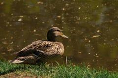 布朗米黄鸭子坐绿色春天草在河边 ?? 免版税库存照片