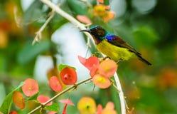 布朗红喉刺莺的sunbird 免版税库存图片