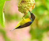 布朗红喉刺莺的sunbird 库存图片