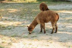 布朗羊魄骆马类吃草在自然的pacos家庭 免版税图库摄影