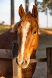 布朗美国短距离冲刺的马在农场 库存照片