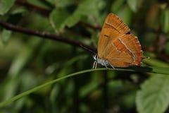 布朗翅上有细纹的蝶蝴蝶& x28; Thecla布朗翅上有细纹的蝶蝴蝶& x28; Thecla betulae & x29; & x29; 库存照片