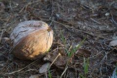 布朗老椰子 图库摄影