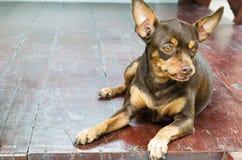 布朗老母微型短毛猎犬坐木地板 免版税库存照片