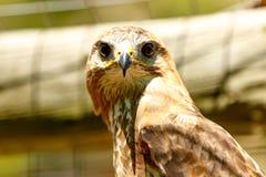 布朗老鹰凝视 免版税图库摄影