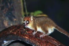 布朗老鼠狐猴(Microcebus rufus)在雨林里 免版税库存图片