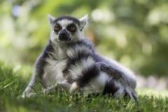 布朗老鼠狐猴(Microcebus rufus) 免版税图库摄影