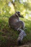布朗老鼠狐猴(Microcebus rufus) 库存图片
