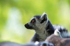 布朗老鼠狐猴(Microcebus rufus) 库存照片