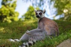 布朗老鼠狐猴(Microcebus rufus) 免版税库存图片