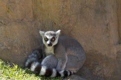 布朗老鼠狐猴(Microcebus rufus) 图库摄影