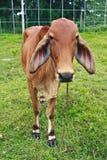 布朗肉用牛 库存照片