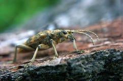 布朗臭虫在森林里 免版税库存照片