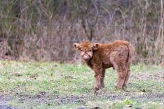 布朗苏格兰高地居民小牛在草甸 免版税库存照片