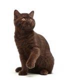 布朗英国短发小猫, 3个月大 图库摄影