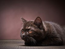 布朗英国短发小猫, 3个月大 库存图片