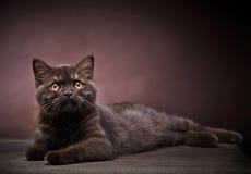布朗英国短发小猫, 3个月大 库存照片