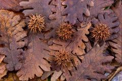 布朗荚,在一片干燥叶子的胶囊作为秋天背景 库存图片