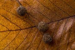 布朗荚,在一片干燥叶子的胶囊作为秋天背景 库存照片