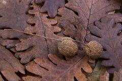 布朗荚,在一片干燥叶子的胶囊作为秋天背景 图库摄影