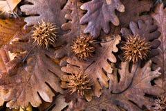 布朗荚,在一片干燥叶子的胶囊作为秋天背景 免版税库存照片