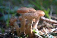 布朗蘑菇在森林里 库存照片