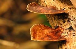 布朗蘑菇 库存图片